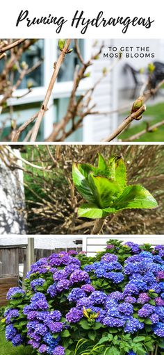 hydrangea garden care Pruning hydrangeas to get the most blooms! Hortensia Hydrangea, Hydrangea Bloom, Hydrangea Care, Hydrangea Not Blooming, When Do Hydrangeas Bloom, Pruning Hydrangeas, Hydrangea Landscaping, Small Backyard Landscaping, Landscaping Ideas
