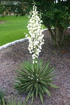 Yucca cernua with it's beautiful flower spike.