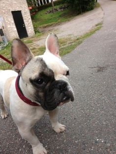 French Bulldog.  I would name him Erik after the character in phantom of the opera.