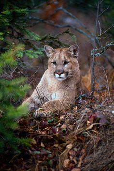"Cougar, or Puma. (Not ""mountain lion"" because there is no such thing, given the animal is not a lion but an entirely different wild cat!)"