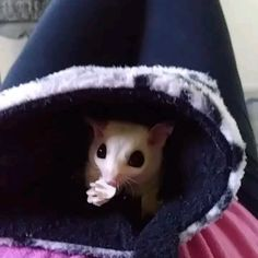 Funny Animal Memes, Cute Funny Animals, Funny Animal Pictures, Sugar Glider Baby, Sugar Gliders, Post Animal, Interesting Animals, Cute Animal Videos, Cute Gif