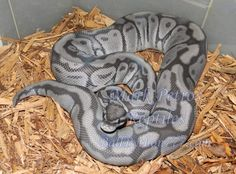Blue Ghost Ball Python. Never heard of this morph!