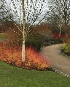 Cornus sanguinea Mid WInter Fire has the brightest stems