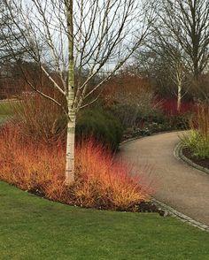 Cornus sanguinea Mid WInter Fire has the brightest  stems