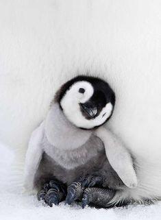 25 maravillosas fotografías con las que celebrar a los pingüinos