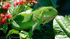 La vida salvaje panameña es tan diversa y hermosa!
