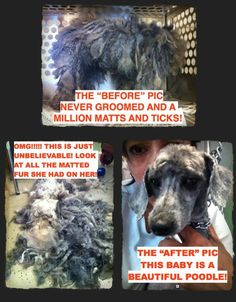 """HERE IS THE """"AFTER"""" PIC of that Puppy Mill dog posted this morning!!!! JUST UNBELIEVABLE!!!!! Look at this sweet, adorable baby, who by the way, has never been held in her life!!! 44 Puppy mill dogs were saved by A Place To Bark in TN!!!!"""