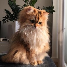 Pretty Animals, Cute Little Animals, Pretty Cats, Beautiful Cats, Kittens Cutest, Cats And Kittens, Fluffy Kittens, I Love Cats, Cute Cats
