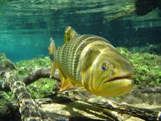 we had one of these guys swim along with us...too cool. Bonito – Mato Grosso do Sul – Brasil