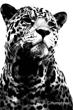 Paradise Wildlife Park: Jaguar Black and White #Photography