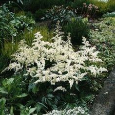 I want white astillbe in my woodland garden and in my white garden