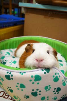 Chilled and happy guinea pig :-)