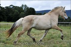 Norwegian Fjord Breeders | DCF Norwegian Fjord Horses  Fjord horse. One of the world's oldest breeds, the Fjord horse is a small but strong light draft breed from the mountainous regions of Norway. It is always dun colored - shades of light tan or gold with dark points.