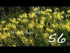 Field of Gold — A Minute in the Garden 56 from A Gardener's Notebook [Video] (1:00)    A Gardener's Notebook