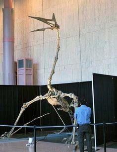 Quetzalcoatlus skeleton...Sorry, no link as I can't pin from Facebook! :/