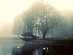 weeping willow in the fog