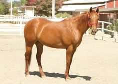 gift idea Adopt a Clydesdale Horse from Hope Pastures Horse Sanctuary