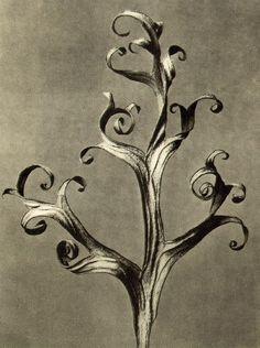 Karl Blossfeldt - Delphinium, Larkspur Part of a dried leaf magnified six times