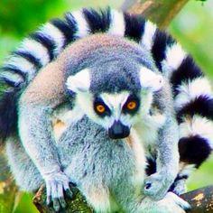 Release of Exotic Pets Harms Florida Everglades Primates, Mammals, Funny Animals, Cute Animals, Wild Animals, Funny Pets, Zoo Animals, Funny Humor, Power Animal