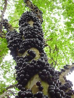 "Jabuticaba, or Brazilian grape tree,  (Myrciaria cauliflora) is one of the most popular native fruits of Brazil. Small white flowers are produced along the larger trunks & branches (""cauliflora"" means ""flowers growing on trunk""). The fruit forms on the trunks on short stems, sometimes 2-3 fruits in a cluster. When trees are in heavy fruit, the branches can't be seen for the large numbers of dark purplish-black fruits that look like large grapes. They have white pulp with several small seeds."
