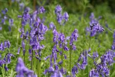 British bluebells - if planted where can be left undisturbed will regrow each year. :)
