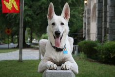 White German Shepherd Puppy | Dog Breeds WallpapersDog Breeds Wallpapers