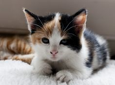 precious tiny calico kitten. Love!!