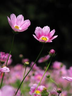Pretty Pink Cosmos
