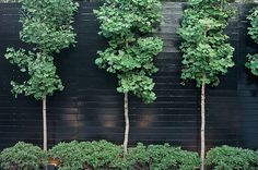 Pollarded ginkgo trees add a layer of ruffly texture against a fence.