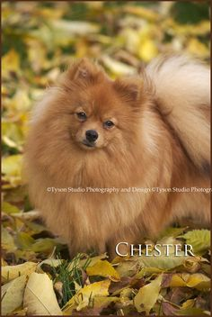 Red sable pomeranian