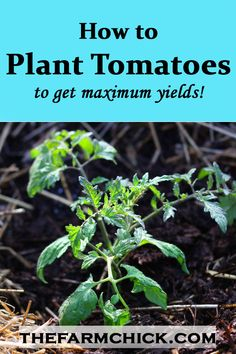 Ever wondered how to plant tomatoes so you can get maximum yields? Learn about my favorite methods and my secret ingredients!