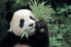 The average panda eats somewhere between 20 and 40 pounds of bamboo each day.