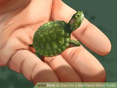 How to Care for a Red Eared Slider Turtle. If you're looking to get a pet turtle, consider a red-eared slider turtle. This easily adaptable pet prefers warm habitats, but can thrive in a large tank. The red-eared slider is named for the. Turtle Care, Pet Turtle, Box Turtle Habitat, Red Ear Turtle, Red Eared Slider Turtle, Turtle Homes, Aquatic Turtles, Tortoise Care, Baby Sea Turtles