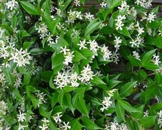 Trachelospermum jasminoides: Attractive, evergreen, twining, climber with dark, glossy,  green leaves, valued for its star-shaped, perfumed flowers which it produces in late Spring. Spring and Summer growth is often tinted pink.
