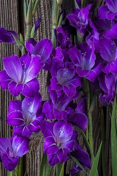 purple gladiolas---I want these in my garden!