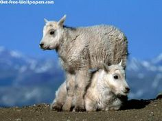 Two Baby Goats 1152X864 Photo