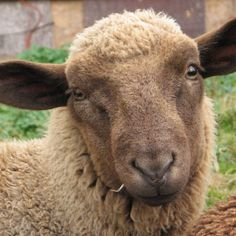 CVM Romeldale Sheep | Black Mountain Farm