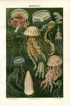 Jellies, C. Merculiano, 1894. Chromolithograph