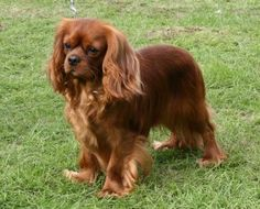 Cavalier King Charles Spaniel - Ruby color