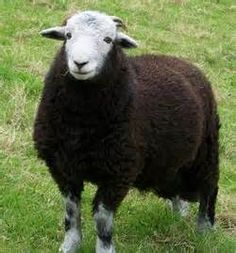 herdwick sheep - Bing Images