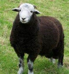 herdwick sheep - Bing Images