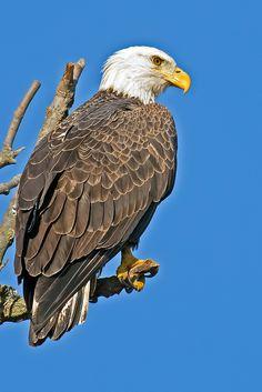 American Bald Eagle by Brian Kushner**