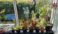 Coleus and succulents on the window ledge
