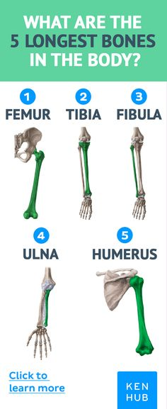 The longest bones in the human body. Click to learn more about bones! #anatomy #bones #medicine #medicalstudent #learn