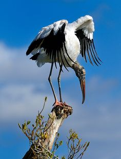 Wood Stork in the Everglades, Florida by Diana Robinson on 500px