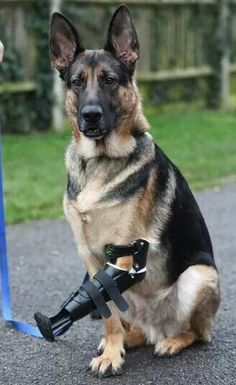 How cooooool! For the love of dogs!A three-legged Rescue German Shepherd Dog, Shadow. has been given a revolutionary new prosthetic paw after its fore leg was almost torn off in a trap Military Working Dogs, Military Dogs, Police Dogs, Beautiful Dogs, Animals Beautiful, Cute Animals, I Love Dogs, Cute Dogs, War Dogs