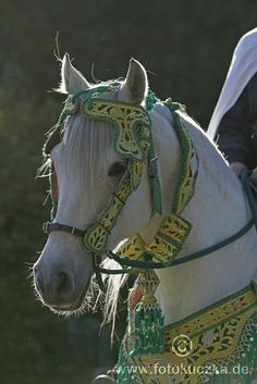 Arabian-Berber mare Naema Al Mansour