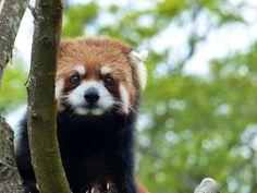 Red panda at the Kamine Zoo in Ibaraki prefecture, Japan