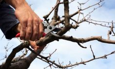 For information and tree pruning - why, when and how tips, along with an excellent how-to prune video check this post.