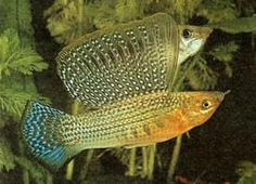 "Harlequin Sailfin Molly 2"" (pair)   AquariumFishSale.com - Live Tropical Fish for Sale!"